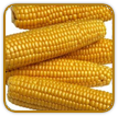 Non-Hybrid Corn Seed | Seeds of Life