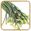 Non-Hybrid Garlic Chive Seed | Seeds of Life
