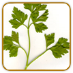 Non-Hybrid Parsley Seed | Seeds of Life