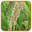 Non-Hybrid Rice Seed | Seeds of Life