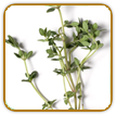 Non-Hybrid Thyme Seed | Seeds of Life