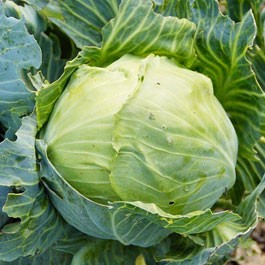 Cabbage: Copenhagen Market | 1 lb