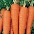 Carrot: Danvers | 1/2 lb