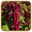Non-Hybrid Amaranth Seed | Seeds of Life