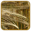 Non-Hybrid Barley Seed | Seeds of Life