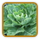 Non-Hybrid Collard Seed | Seeds of Life