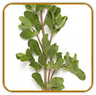 Non-Hybrid Marjoram Seed | Seeds of Life