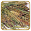 Non-Hybrid Millet Seed | Seeds of Life