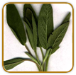 Non-Hybrid Sage Seed | Seeds of Life