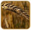 Non-Hybrid Wheat Seed | Seeds of Life