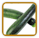 Non-Hybrid Zucchini Seed | Seeds of Life