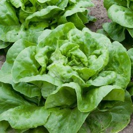 Lettuce: Buttercrunch | 1 g